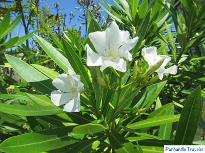 Travel Tips for Florida Panhandle: Poisonous plants  Oleander